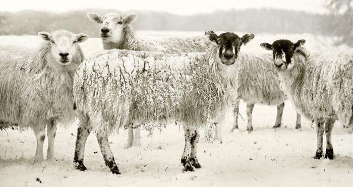 sheep-in-snow-5b5c29b6ab742fd7e7fd642c5836f098