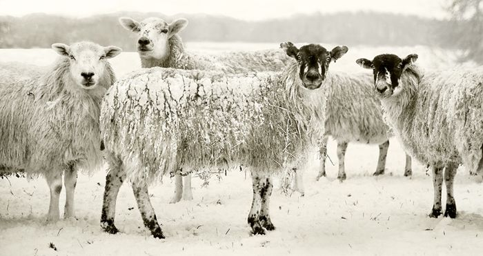 sheep-in-snow-81242e87f8ef60b030f8d311b4e79fe5